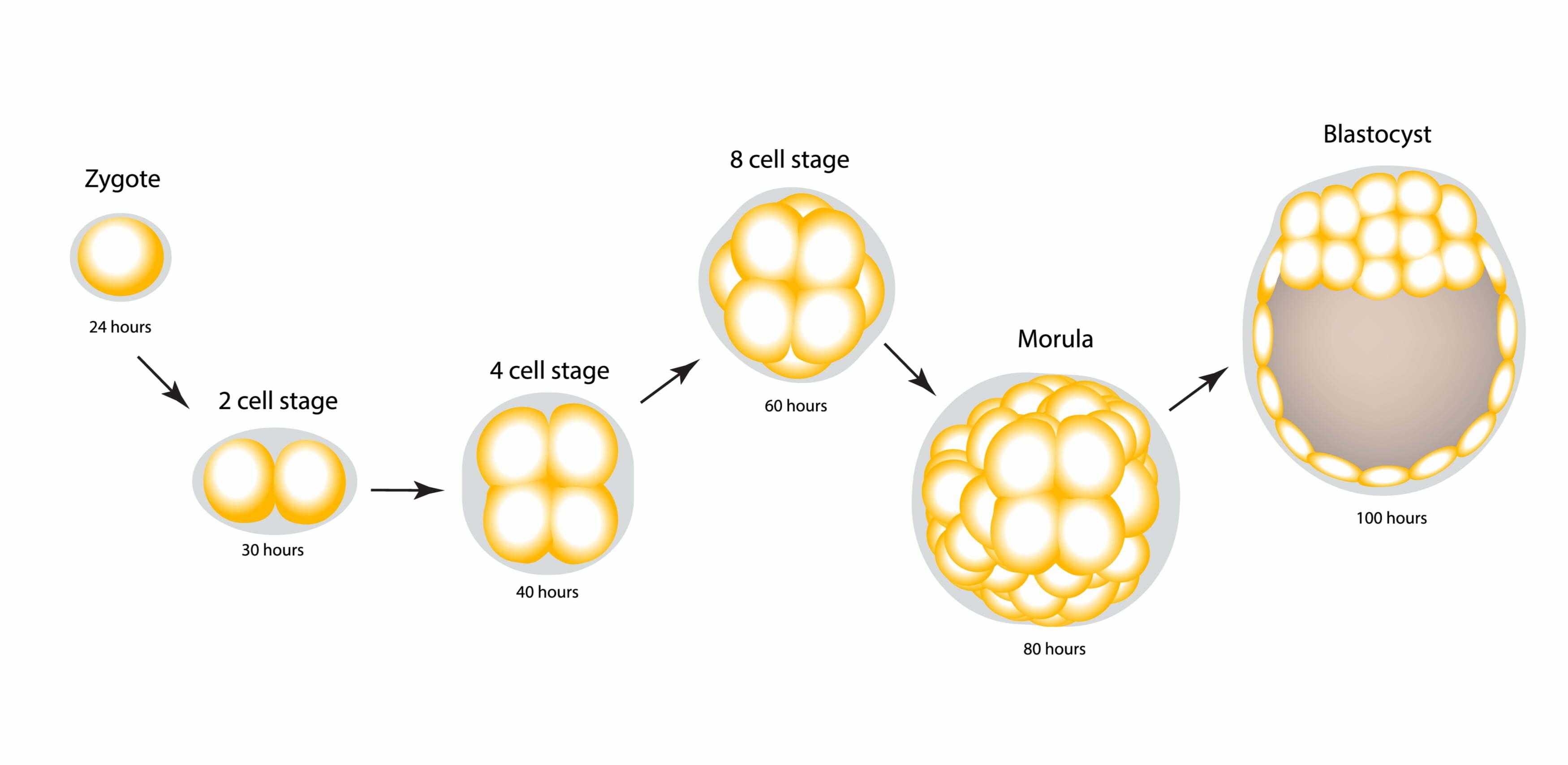 zygote naar blastocyste