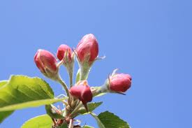 appel bloesem